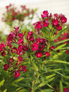 Flowering oleander bush. Stock Photos