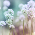 Flowering Onion Royalty Free Stock Images