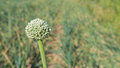 Flowering onion plant in a large field Royalty Free Stock Photo