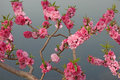 Flowering peach blossom on the tree Royalty Free Stock Photo