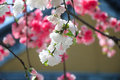 Flowering peach trees pink and white blooming in spring Royalty Free Stock Photography