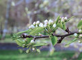 Flowering pear tree branch in early spring Royalty Free Stock Photo