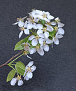 Flowering pear tree branch in early spring against a dark background Stock Images