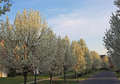 Flowering pear tree in spring Stock Image