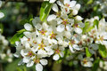 Flowering of pear tree in spring Stock Images