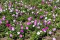 Flowering petunias in the flowerbed Royalty Free Stock Photo