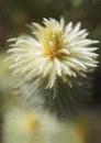 Flowering phylica pubescens featherhead or flannel bush plant is covered in very fine hair like leaves is super soft feathery to Royalty Free Stock Photo