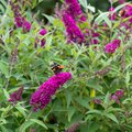 Flowering pink butterflybush - Buddleja davidii - with red admiral butterfly - Vanessa atalanta - sitting on blooms. Royalty Free Stock Photo