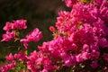 Flowering Plant Bougainvillea