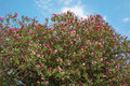 Flowering Plant Oleander On Bl...