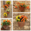 Flowering plants in pots set orange and yellow on antique stonewall collage tuscany europe Stock Images