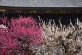 Flowering Plum Trees And Old S...