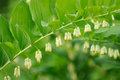 Flowering Polygonatum (Solomon's Seal) Plant Royalty Free Stock Images