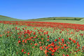 Flowering poppies in wheat field Royalty Free Stock Photo