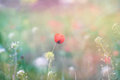 Flowering poppy in the meadow, blur background Royalty Free Stock Photo
