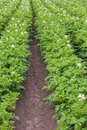 Flowering potato field in the summer Stock Photo