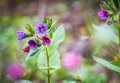 Flowering Pulmonaria officinalis also known as lungwort