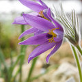 Flowering Pulsatilla Royalty Free Stock Photo