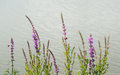 Flowering purple loosestrife at the banks of a stream closeup violet blooming or lythrum salicaria plants edge water in early Stock Image