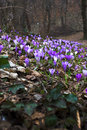 Flowering purple saffron crocus flower Royalty Free Stock Photo