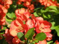 Flowering quince branch in spring Royalty Free Stock Photos