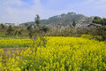 Flowering rape field before mountainside village in sunny spring Royalty Free Stock Photo