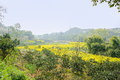 Flowering rape fields in sunny spirng spring chengdu china Stock Photo