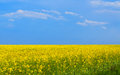 Flowering rapeseed field minimalism style on a summer day Stock Image