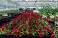 Flowering red petunias grown in modern greenhouse
