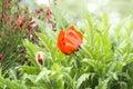 Flowering of red poppy in garden summer gadren Stock Images