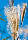 Flowering reeds closeup in bright light Stock Images