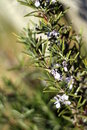 Flowering rosemary Royalty Free Stock Photography