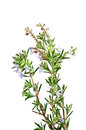 Flowering rosemary bush Royalty Free Stock Photo