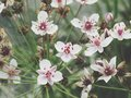 Flowering rush blossom at havel river. water plant. Royalty Free Stock Photo