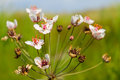 Flowering Rush (Butomus umbellatus) Royalty Free Stock Photo