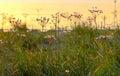 Flowering rush (Butomus umbellatus) Royalty Free Stock Photo