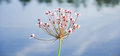 Flowering rush or grass rush Butomus umbellatus Royalty Free Stock Photo