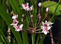 Flowering rush in summer Royalty Free Stock Photo