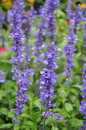 Flowering Sage - Salvia farinacea Royalty Free Stock Photo