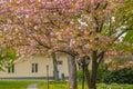 flowering sakura blossoms at dark sky