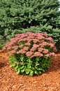 Flowering Sedum Autumn Joy Stock Photo