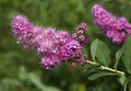Flowering shrub with clusters of pink Royalty Free Stock Image