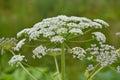 Flowering Sosnowsky's hogweed Royalty Free Stock Photo