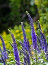 Flowering spikes of Veronica Spicata Ulster Dwarf Blue flower Royalty Free Stock Photo