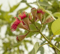 Flowering stage of Australian gumnuts Royalty Free Stock Photo