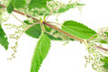 Flowering Stinging Nettle (Urtica Dioica) Royalty Free Stock Photo