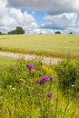 Flowering thistle in the fields in the countryside Royalty Free Stock Photography