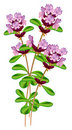 Flowering thyme. Stock Photography