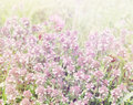 Flowering thyme tinted meadow with Royalty Free Stock Images