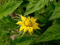Flowering tomato flower of beef plant Stock Photo